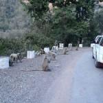 Monkeys along the road