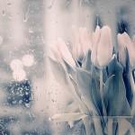 Tulips and Rain
