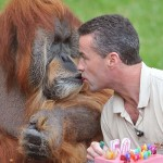 Manager of the zoo Sebastien Laurent (R), gives, mouth to mouth, a slice of cake to Major, the oldest captive Orangutan in the world, as part of its 50th birthday ceremony, on July 17, 2012, at the La Boissiere-du-Doree zoo near Nantes, western France