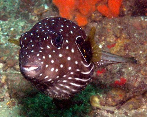 Stars and Stripes Toadfish (Arothron reticularis)