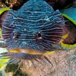Stripped toadfish
