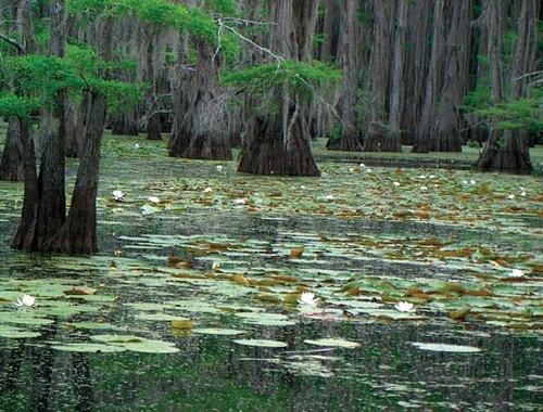 Water lilies on Caddo Lake