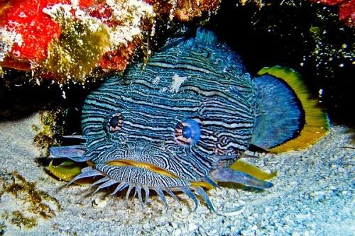 amazing toadfish