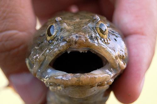surprised toadfish