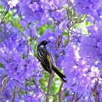 the bird in jacaranda tree