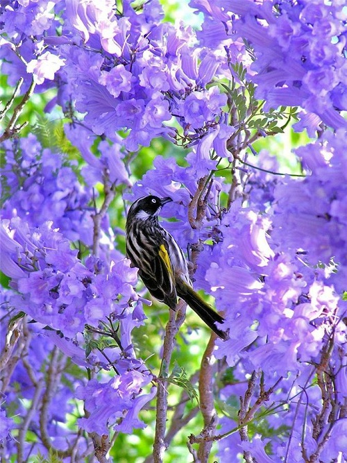 the bird in jacaranda tree
