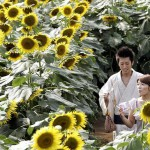 Japan sunflower festival in Zama