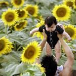 Japan sunflower festival in Zama