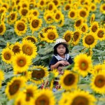 "Japanese Festival of sunflowers ""Himawari Matsuri"" in Zama"