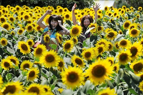 "Japanese Festival of sunflowers ""Himawari Matsuri"" in Zama"
