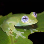 Sitting on a leaf, Glass Frog