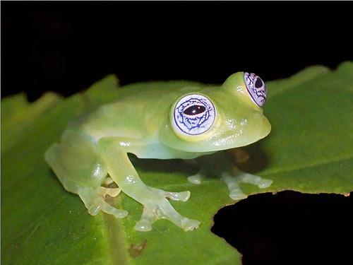 Sitting on a leaf, Glass Frog