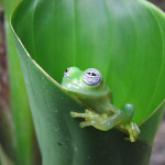 Resting on the leaf, Glass Frog