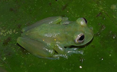 Glass Frogs-nature bioindicators