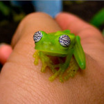 Amazing Glass Frog