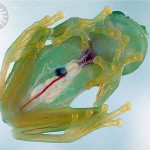 Transperent glass frogs
