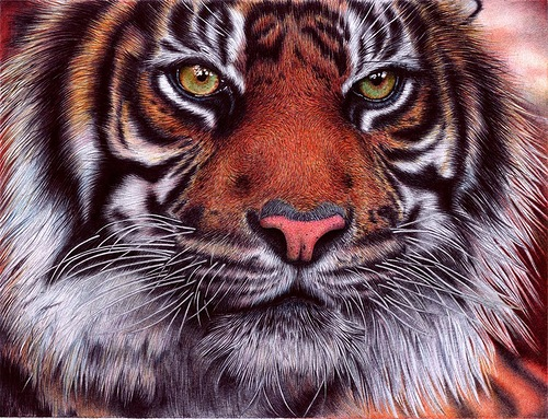 Tiger. Photo realistic drawing by Portuguese artist Samuel Silva