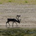 Local deer. Siberian river Olenyok