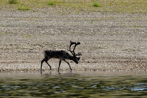 Local deer. Siberian river Olenyok