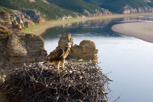 An eagle in the nest. Siberian river Olenyok