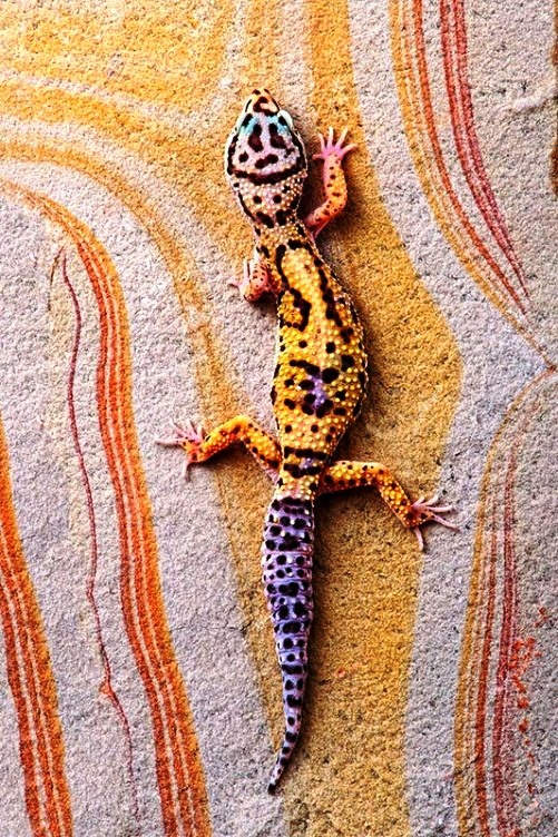Leopard gecko beautiful reptile pet