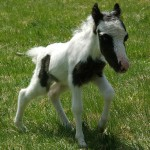 Einstein, the smallest horse in the world