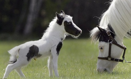 Beautiful miniature horse Einstein