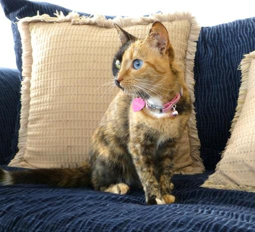 Venus - the famous chimera cat