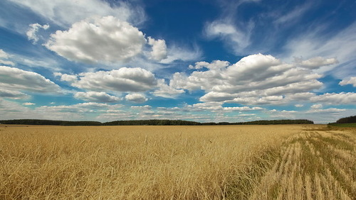 Wheat field. Russian landscapes by photographer Aleksandr Danilin