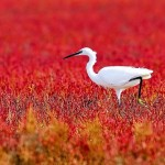 White heron in a red field. Beautiful wildlife by nature photographer Tomaz Benedicic