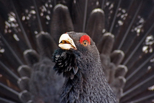 Gorgeous black grouse. wildlife by nature photographer Tomaz Benedicic