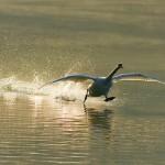 Running on water. Beautiful wildlife by nature photographer Tomaz Benedicic