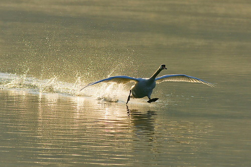 Running on water. Beautiful wildlife by nature photographer Tomaz Benedicic
