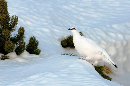 White splendor. Beautiful wildlife by nature photographer Tomaz Benedicic
