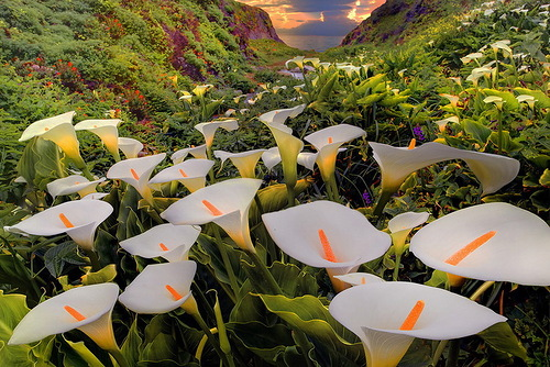 Calla field. Nature photographer Kevin McNeal