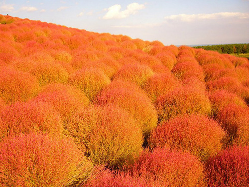 Hitachi Seaside Park - National Park of flowers. Ibaraki Prefecture, Japan