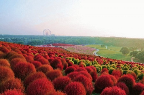 Raspberry, red and orange color bushes. Hitachi Seaside Park