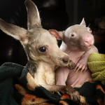 Kangaroo Joe and wombat Peggy - friends forever