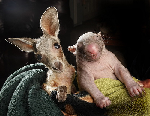 Kangaroo Joe and wombat Peggy