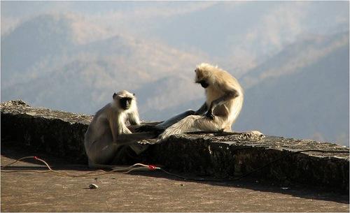 Monkeys on the walls of Kumbhalgarh