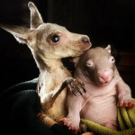 Best friends. Wildlife Kilmore Rescue Center in Victoria, Australia – 31 Jul 2012. Joey, the orphaned kangaroo and wombat Peggy who share a pouch at the Wild Rescue Center