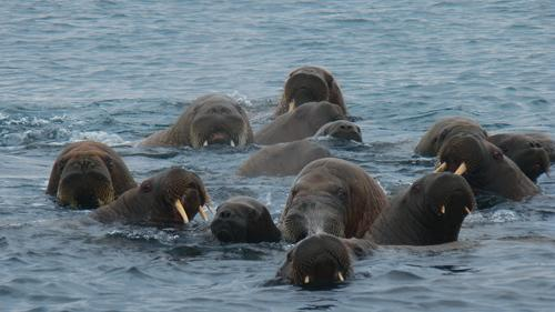 Swimming Walruses
