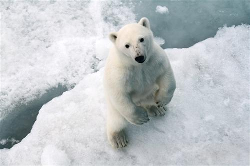 A Polar bear on the island of Alexander Land. Archipelago of Franz Josef Land. Ramil Sitdikov. RIA Novosti. 25.07.2012