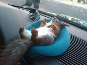 Taxi squirrel Masik
