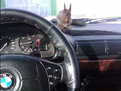 Taxi squirrel Masik