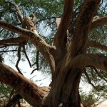The only ancient tree growing in loneliness in Southern Governorate of Bahrain. Shajarat-al-Hayat or the Tree of Life