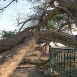 Shajarat-al-Hayat or The Tree of Life, growing in loneliness in Southern Governorate of Bahrain