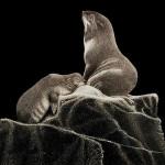 Seals. Scratchboard painting by American artist Dan Berg