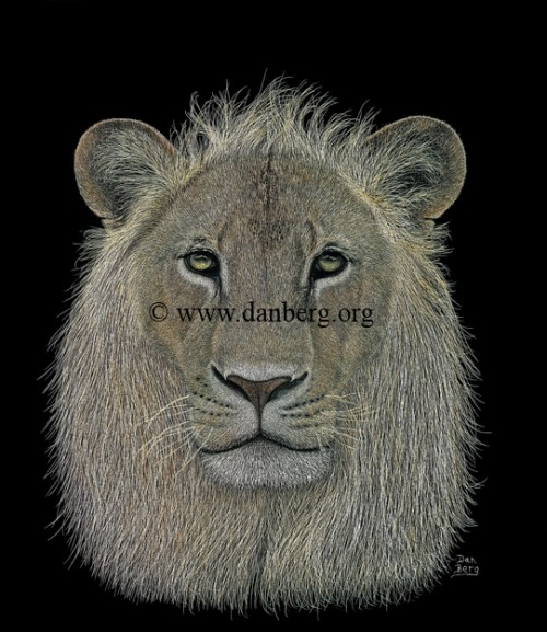 A lion. Scratchboard painting by American artist Dan Berg