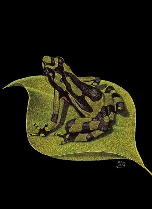 A frog. Scratchboard painting by American artist Dan Berg